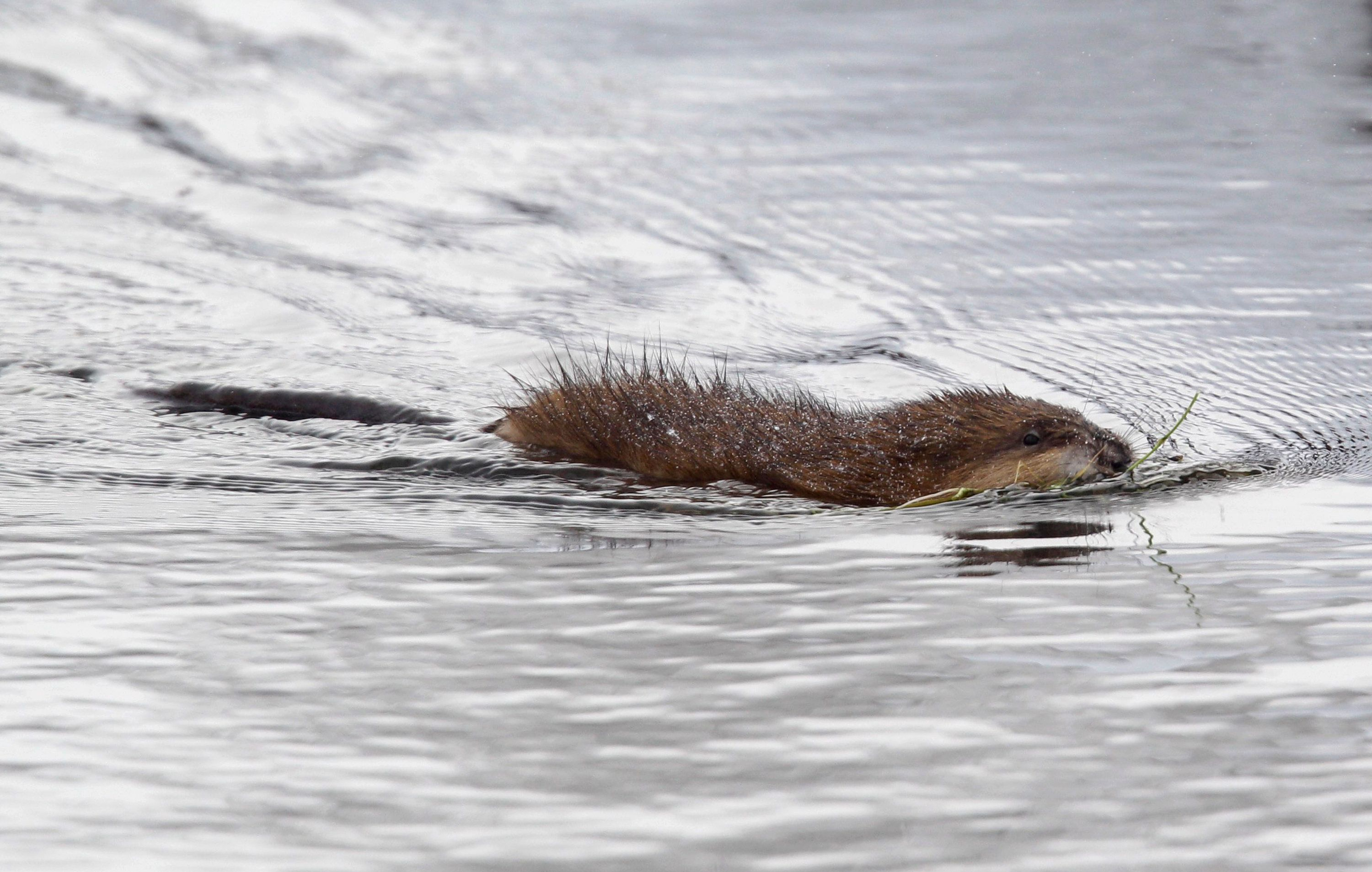 "FILE - In this Dec. 14, 2010, photo, a muskrat swims in a pond near Buffalo, N.Y. Roman Catholics in the Detroit area get a reprieve from their obligation to abstain from eating meat on Fridays during Lent. But only to dine on a certain rodent. The Archdiocese of Detroit says a long-standing permission dating to the region's missionary history in the 1700s allows local Catholics to eat muskrat ""on days of abstinence, including Fridays of Lent."" (AP Photo/David Duprey, File)"