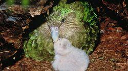 Ο πιο χοντρός παπαγάλος του κόσμου γλύτωσε την