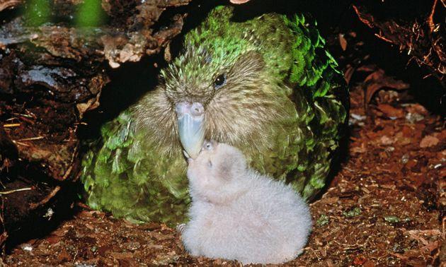 Κακαπό: Ο πιο χοντρός παπαγάλος του κόσμου γλύτωσε την