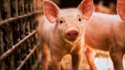 Logran revivir parcialmente los cerebros de 32 cerdos horas después de su
