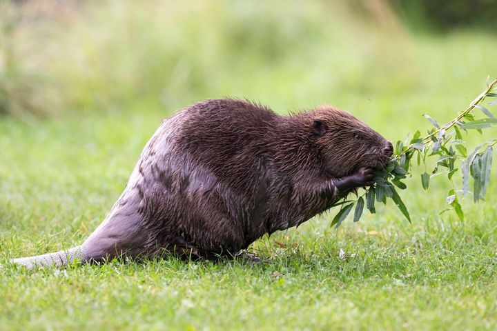 Is Beaver Butt Really Used To Flavor Your Dessert? Here's