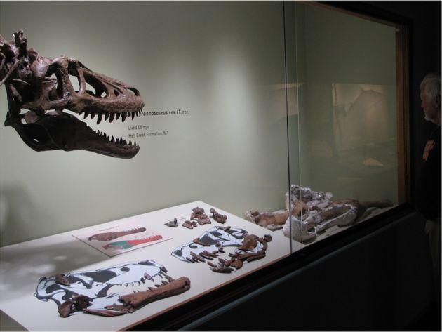 Εξαλλοι οι επιστήμονες: Σκελετός δεινόσαυρου ηλικίας 68 εκατ. ετών πωλείται στο