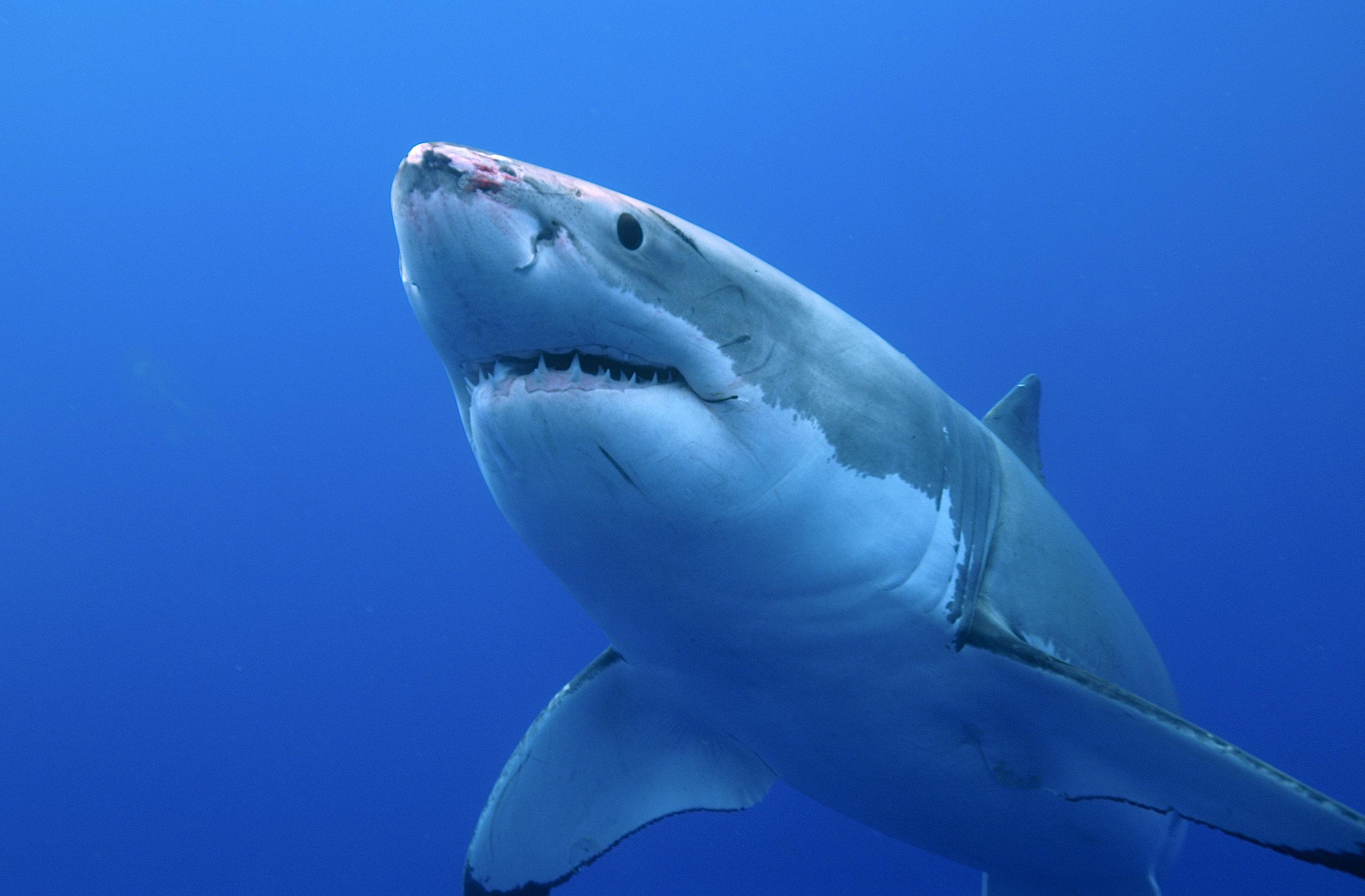 On sait de quoi le grand requin blanc a
