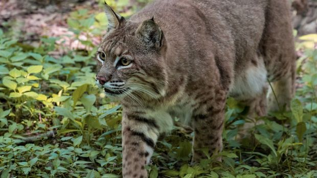 A Bobcat prowls through the woods