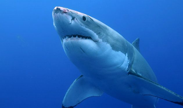 On sait de quoi le grand requin blanc a