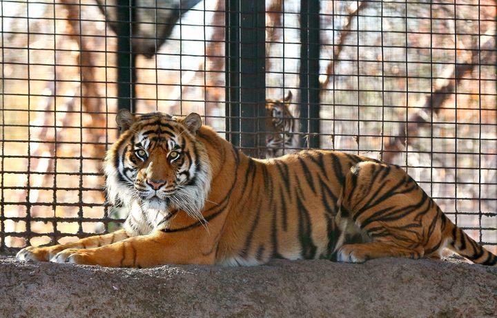Sanjiv, a Sumatran tiger.