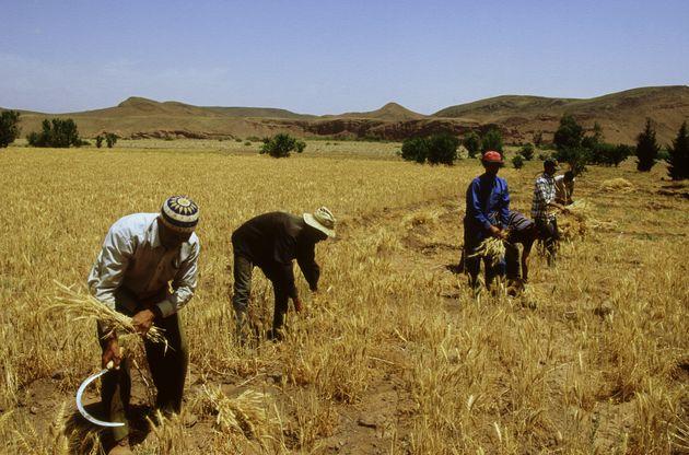 Production des céréales: Aziz Akhannouch s'attend à une saison agricole