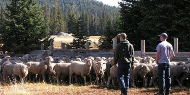 Francia: la guerra tra lupi e pecoresi risolverà con un sms al