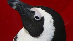 I pinguini rari (ora) stanno