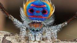 Aracnofobia? Impossibile con i ragni pavone (FOTO,