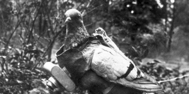 Il piccione fotoreporter: volava con al collo la macchina fotografica. Nel 1907 le prime foto aeree (FOTO,