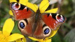 Moda, farfalle e insetti di buon augurio. Lanciati anche ai matrimoni al posto del