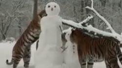 Tigri all'attacco...dei pupazzi di neve