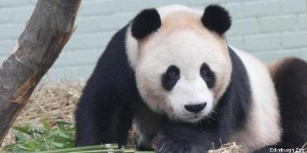 Scozia, allo zoo di Edimburgo si aspetta il primo cucciolo di panda gigante. Dopo un accoppiamento
