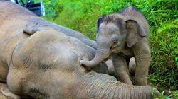 L'elefantino cerca di svegliare la mamma morta