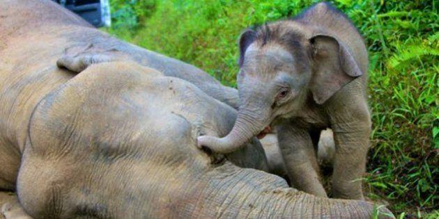 Dieci elefanti pigmei morti, forse avvelenati, in Malesia. E l'elefantino veglia la madre
