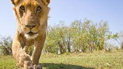Gli scatti impossibili faccia a faccia con tigri, leoni e coccodrilli (FOTO,