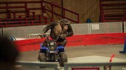 Gli scimpanzé obbligati a fare i clown. Petizione contro il maltrattamento
