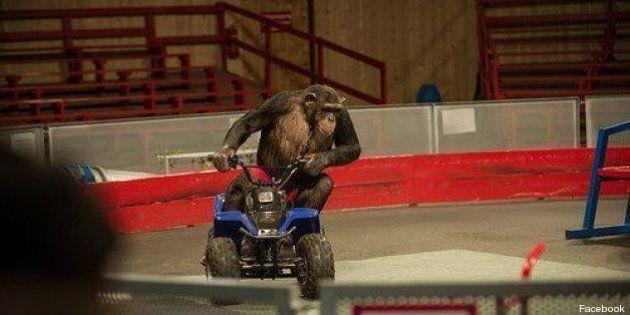 Gli Scimpanzé Obbligati A Fare I Clown.Petizione Contro Il Maltrattamento