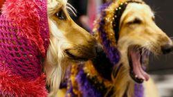 Dog show, i cani più belli del