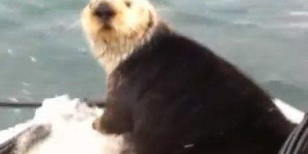 Orche assassine cacciano la lontra, l'animale si salva rifugiandosi su una barca ma piange il suo cucciolo