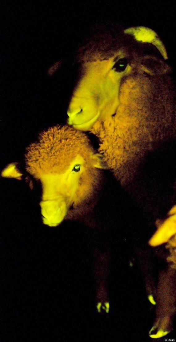 L'agnello transgenico: per la prima volta