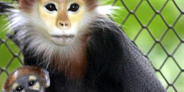 Le scimmie dal naso camuso vivono in