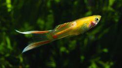 Il salto evolutivo dei pesci Guppy (FOTO