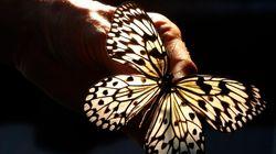 La magnifica ossessione delle farfalle