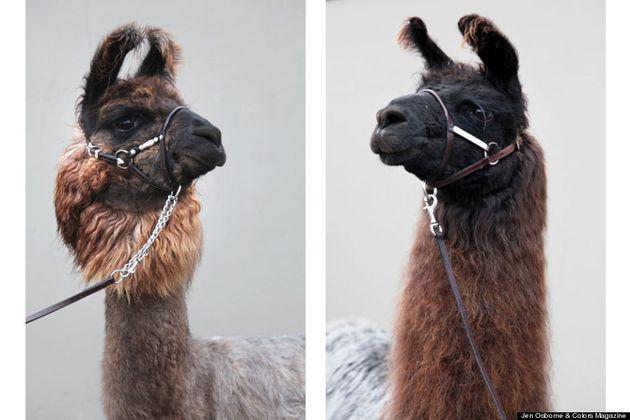 Un lama e torna il sorriso. Gli splendidi scatti di Jen Osborne sulla terapia con gli animali (FOTO,