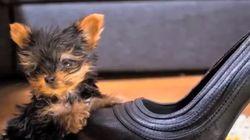 Cani, dal più piccolo del mondo (7 cm) al più grande