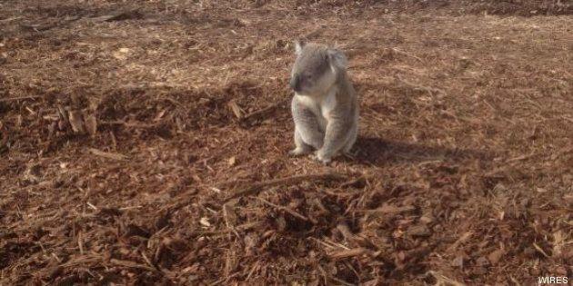 Il koala disorientato alla ricerca della sua casa