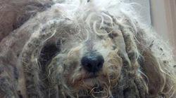Shrek: il cane abbandonato che sembrava