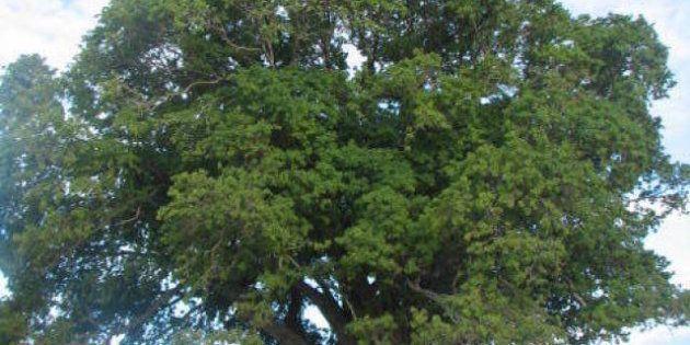 Sono alberi o monumenti?