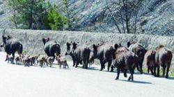 Abruzzo: invasione di cinghiali. Gli animali a passeggio in città e in spiaggia, danni all'agricoltura