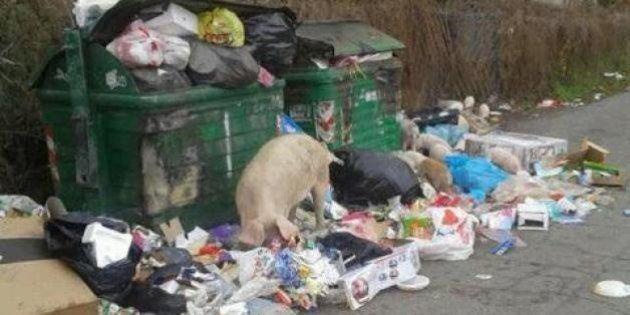 Maiali a Boccea tra l'immondizia. La denuncia sul blog