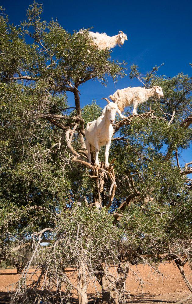 Un photographe britannique a enquêté sur les chèvres marocaines qui montent dans les
