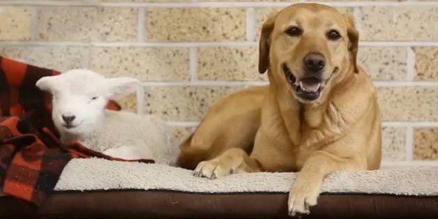 L'agnellina e il cane, amici del cuore in Nuova Zelanda (FOTO