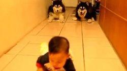 Due cani husky imitano il modo di camminare di un bebè per non mettergli paura (VIDEO