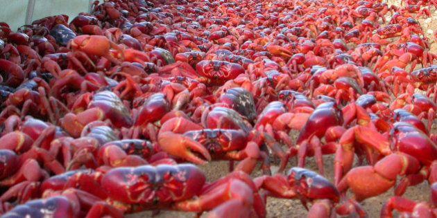 Invasione di granchi rossi sull'Isola del Natale, in Australia. Le foto di un utente di Reddit