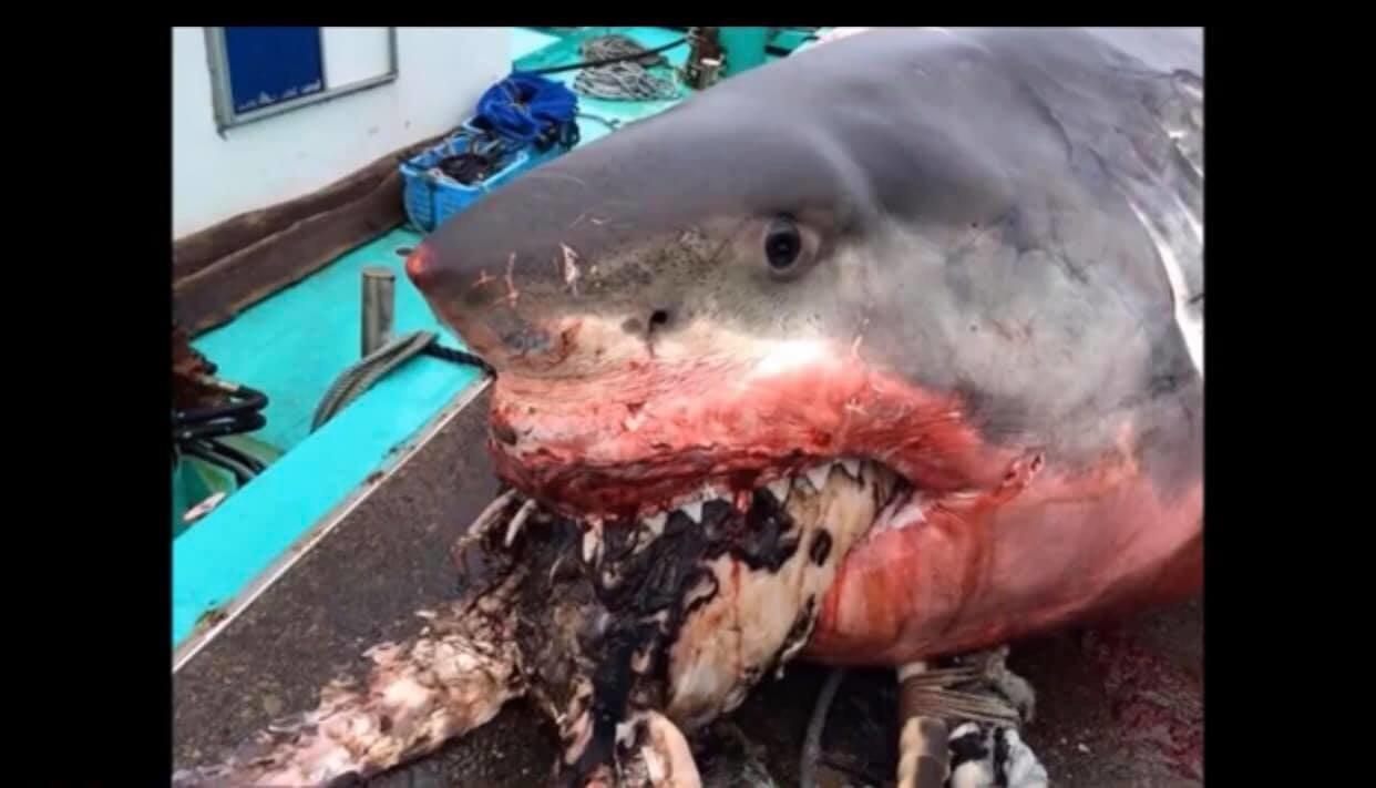 Cet énorme requin blanc a eu les yeux plus gros que le
