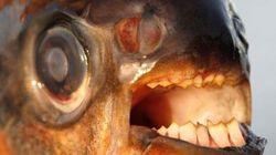 Allarme in Svezia: è arrivato Pacu, il pesce che azzanna i