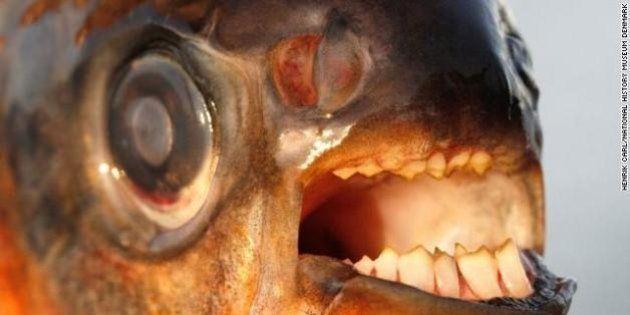 Pacu, il pesce che taglia i testicoli, è arrivato in Svezia. Attacca gli uomini solo se nudi