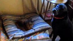 Questi gatti amano rubare il letto ai loro amici cani