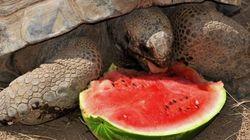 Ferragosto con anguria per gli animali del Bioparco