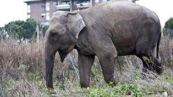Allarme elefante sul