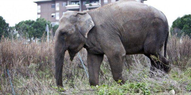 Elefante scappa dal circo a Roma e viene segnalato all'uscita 11 del Grande Raccordo Anulare