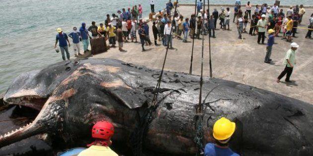 La balena gigante di 16 metri sulla spiaggia delle