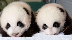 Cuccioli di panda. Il timelapse racconta i loro primi 100 giorni (FOTO,