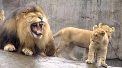 Il primo abbraccio dei cuccioli al papà leone